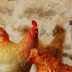 poule 1